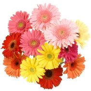 Bouquet of 13 gerberas - flowers and bouquets on roza.pl.ua