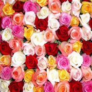 Multicolored roses by the piece - flowers and bouquets on roza.pl.ua