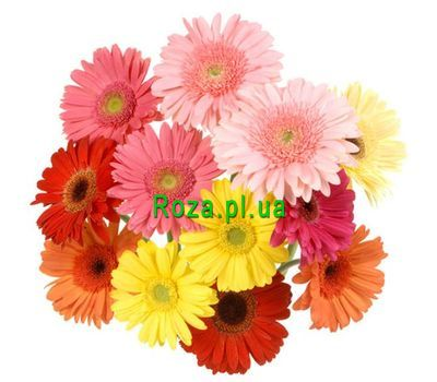"""Bouquet of 13 gerberas"" in the online flower shop roza.pl.ua"