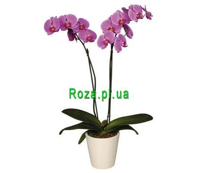 """Orchid pink"" in the online flower shop roza.pl.ua"