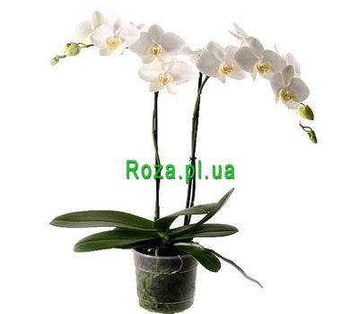 """White Orchid"" in the online flower shop roza.pl.ua"