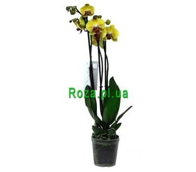 """Orchid yellow"" in the online flower shop roza.pl.ua"