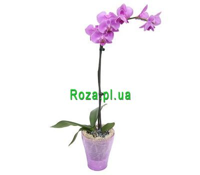 """""""Orchid pink"""" in the online flower shop roza.pl.ua"""